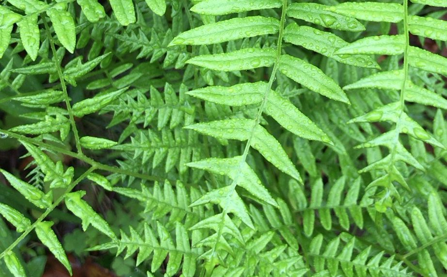 Falls Church Ferns